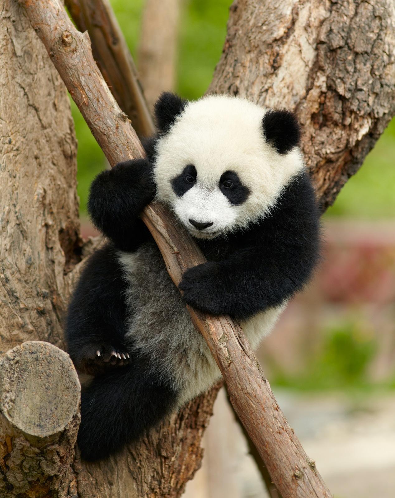 video de osos pandas chistosos