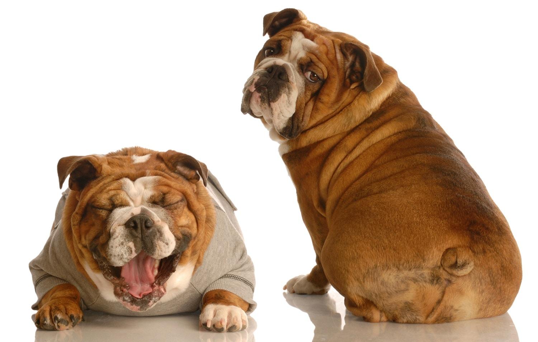 consecuencias de la obesidad en los perros