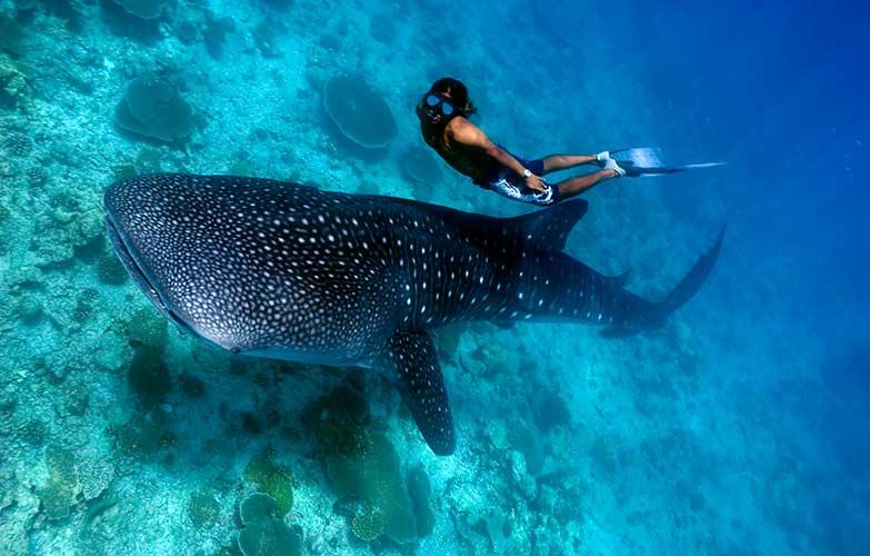 Ven y disfruta un emocionante paseo bajo el mar con los tiburones ballena