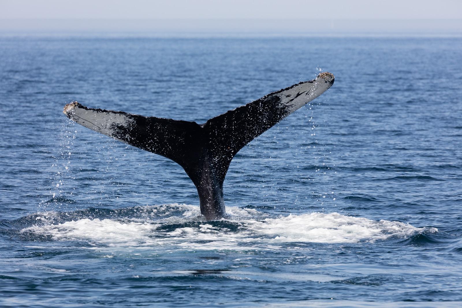 Disfruta el espectaculo de las Ballenas desde hacienda Encantada
