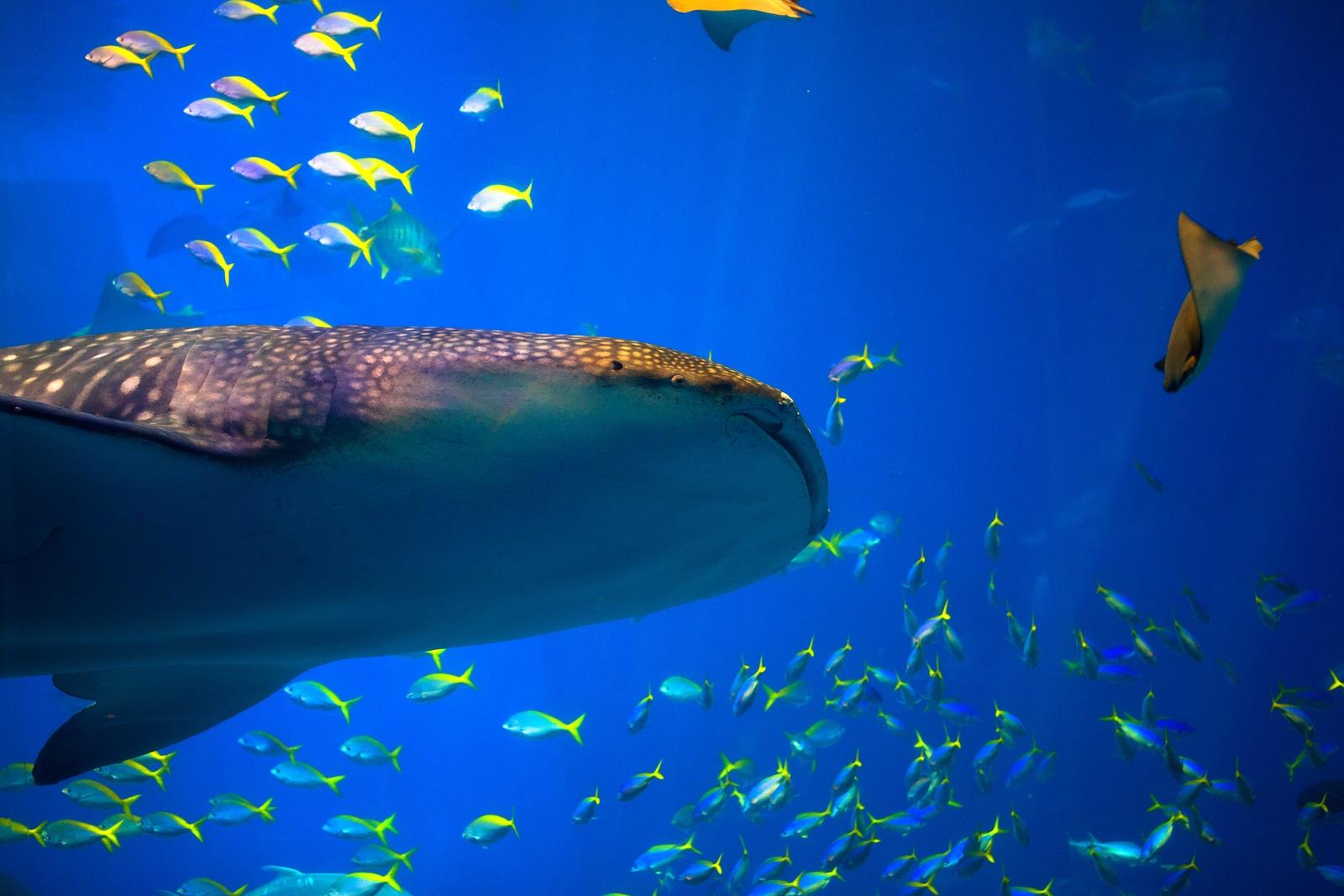 tiburón ballena en Cozumel