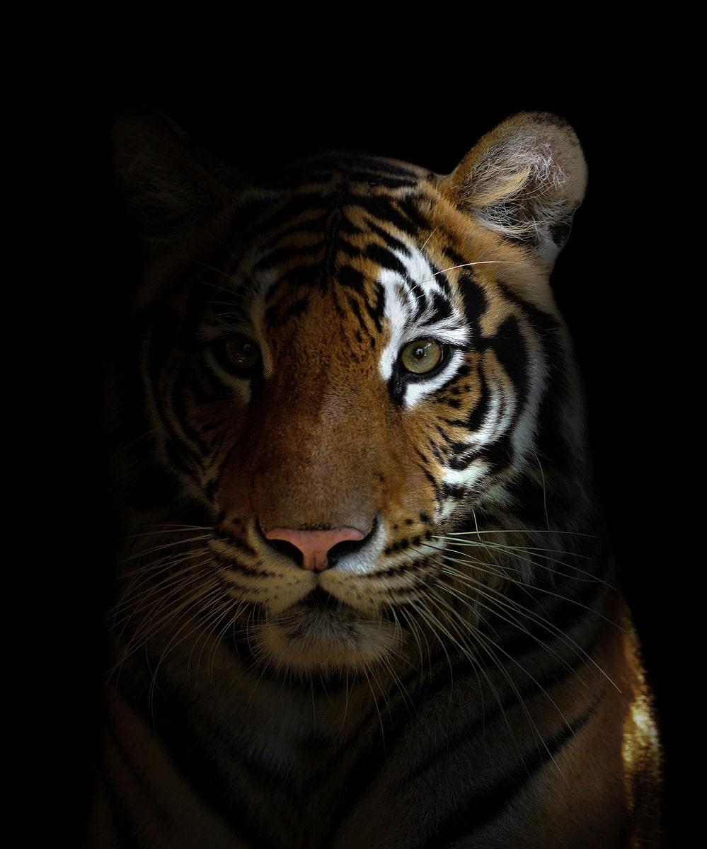 Población de tigres en la India