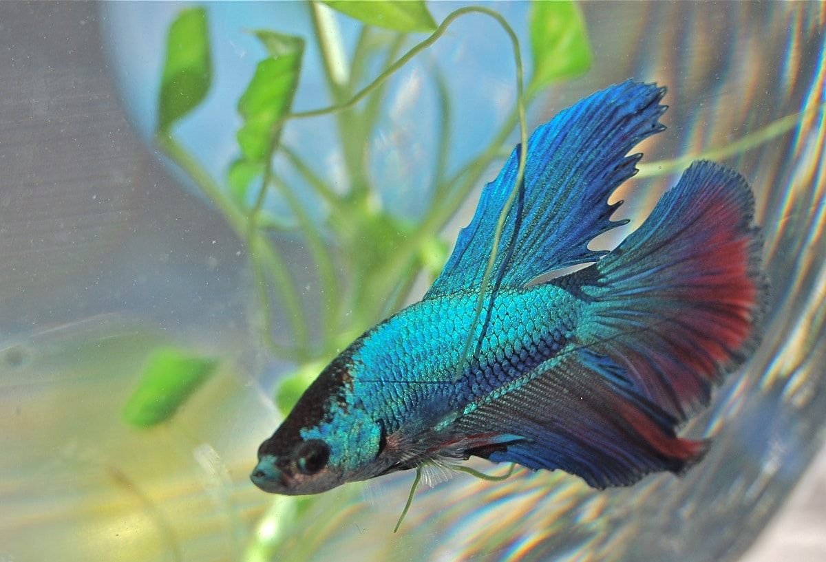 15 cosas que no sab as sobre el pez betta ent rate ahora for Productos para estanques de peces