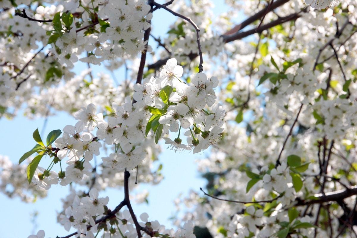 cerezos en flor en valle del jerte
