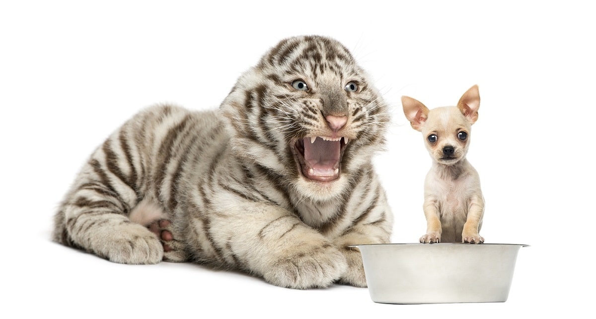 tigre y chihuahua jugando