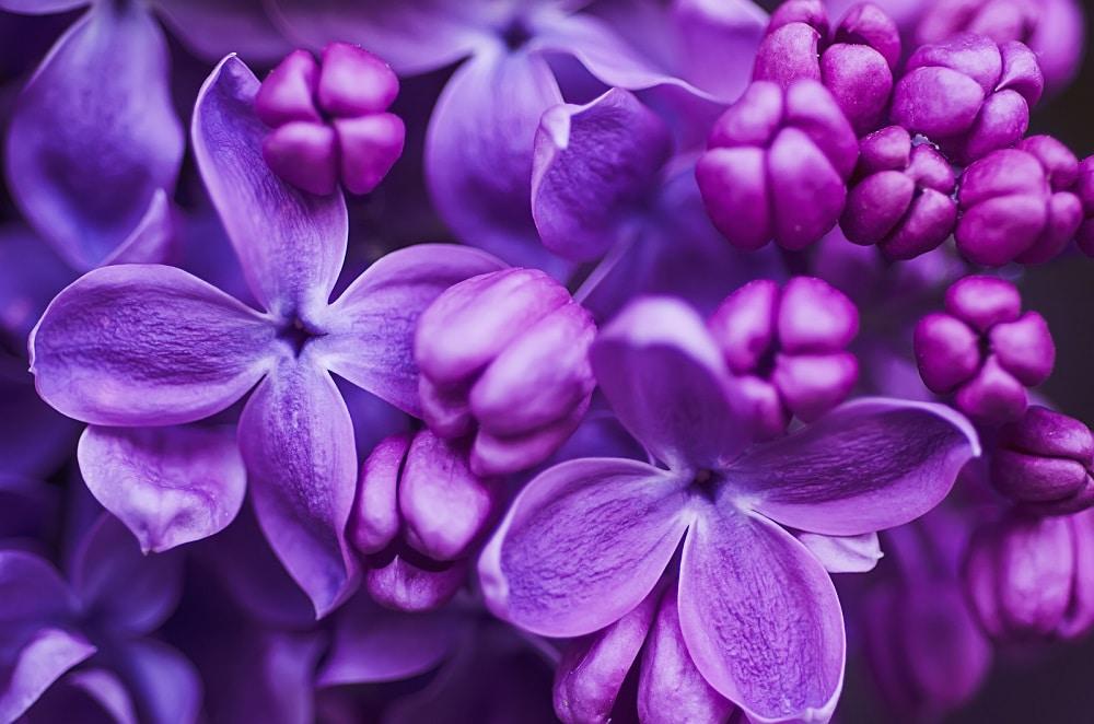 festivales de las lilas en estados unidos