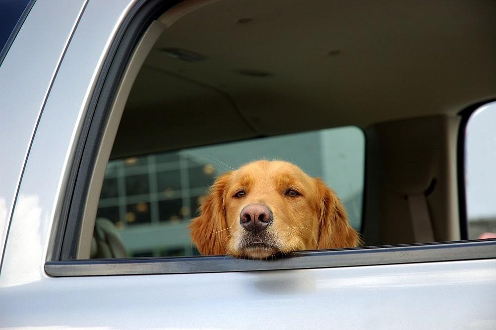 consecuencias de dejar a tu perro en el carro