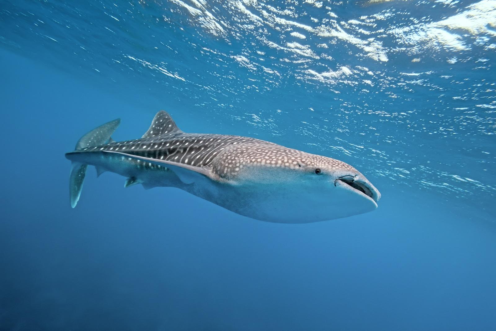 Ven y disfruta el espectaculo que los tiburones - Ballena tienen para ti