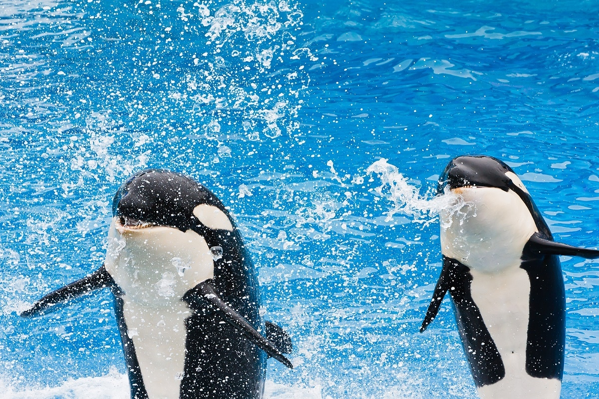 cancelan shows de orcas en seaworld
