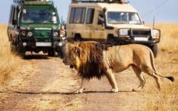 Cazador Furtivo Comido por Leones cerca del Parque Nacional Kruger
