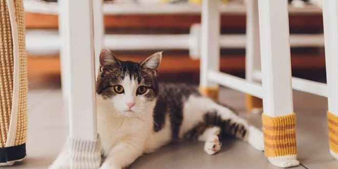 alimentos que un gato no debe consumir, alimentos mortales para gatos, alimentos permitidos para gatos, alimentos prohibidos para gatos, alimentos toxicos para gatos