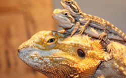 mascotas inusuales, mascotas inusuales seguras, mascotas exoticas, petauro del azucar, dragon barbudo