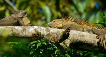 lluvia de iguanas, lluvia de iguanas florida, iguana, clima en florida, florida