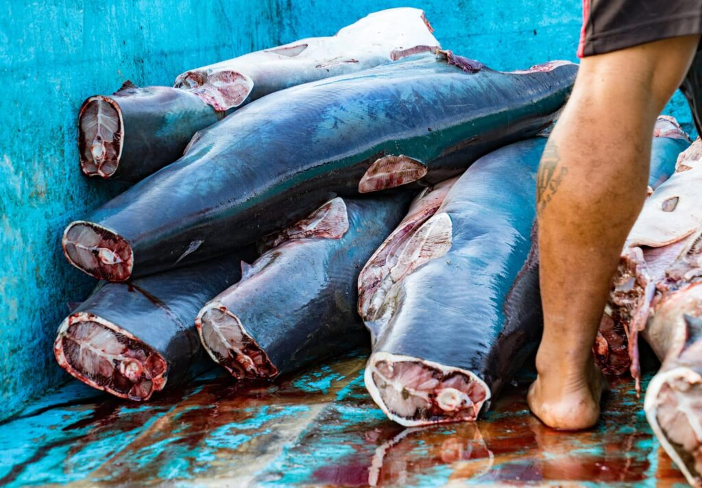 carne de tiburón, peligros de la carne de tiburón, daños que causa la carne de tiburón,  la carne de tiburón es tóxica, alimentos potencialmente peligrosos