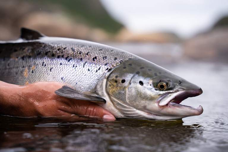 extinción de salmón salvaje, salmón en peligro de extinción, salmón real en peligro de extinción, salmón real, salmón salvaje
