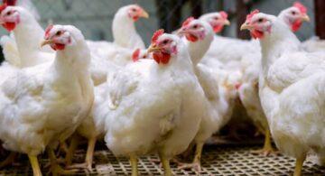 escasez de pollo, escasez de productos, escasez de alimentos, causas de la escasez de pollo, escasez de alimentos 2021, escasez de productos en estados unidos
